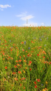 Texas Prairie: Some wildflowers (mostly blanketflower with a few bluebonnets and regular black-eyed-susans) between Waco and Mexia, Texas.