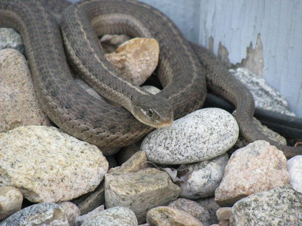 snake 2: A garden snake in my backyard. I think it's a Western Terrestrial Garter Snake. It was one of four that I saw out there today. It was maybe... half a meter or so. Not real big. And I've seen people bitten by these- they don't even leave a mark.