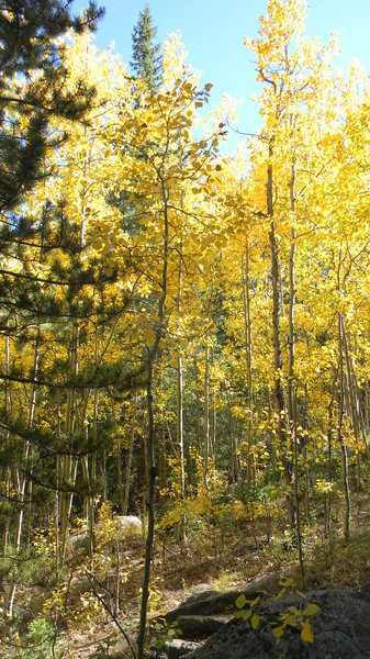 Colorado Aspen: The aspen leaves in the mountains not too far from Idaho Springs, CO. September 18, 2010.