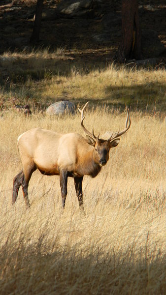 Elk: Some elk in Rocky Mountain National Park. It was bugling season and absolutely amazing! 10-10-'10.