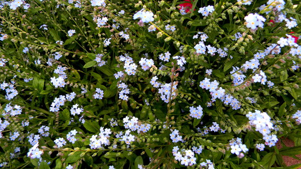 Forget-me-nots: Some photos of forget-me-nots.