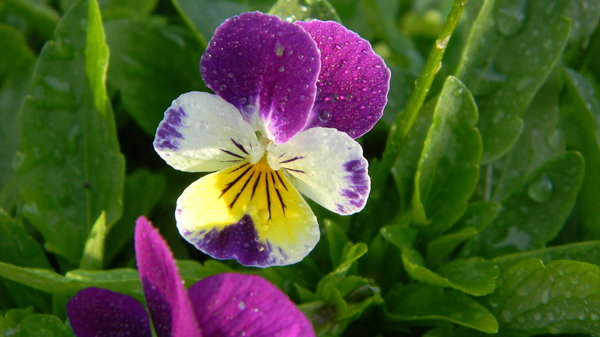 Pansies: Some flowers in the garden.