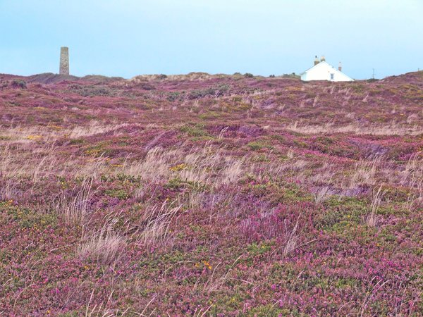 St Agnes Heather: The walk from St Agnes to the beach, stunning heather covered cliff tops.
