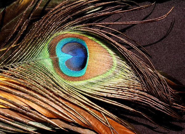 Peacock: Peacock feather