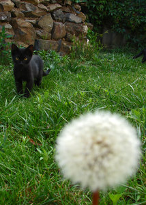 dandelion cat 15: curious cat