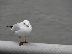 tired seagull: seagull