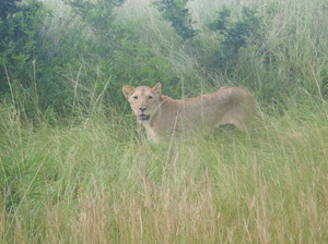 Lioness: Lioness looking for her mate in Hluhluwe game reserve.