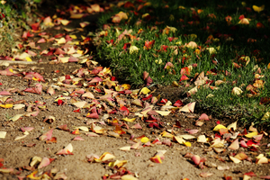 Fall Leaves on Grass: Fall leaves on rich green lawn and dirt border