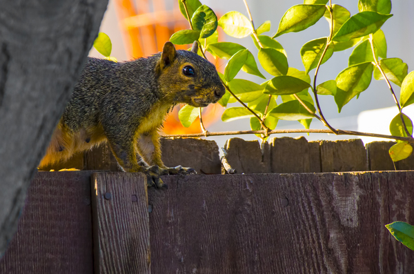 Female Red Squirrel: Female red squirrel walking the fence