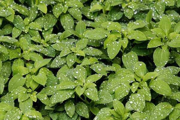 Water Drops on Plants: Ground cover with lots of water drops