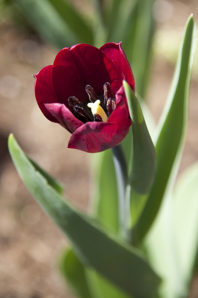 Red Tulip: A closeup of a red tulip.