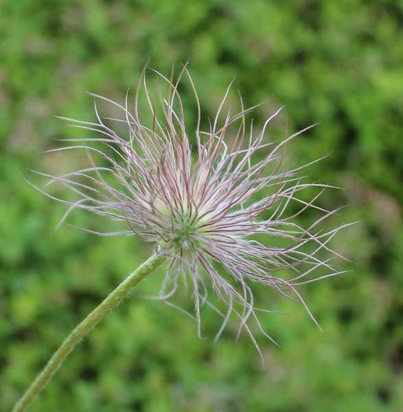 Purple Pasque Flower Seed Head: no description