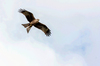 Black Kite Flying: Black kite over Tweed Shire, Northern NSW Australia