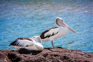 Australian Pelican: Australian Pelican is a large water bird. It is a predominantly white bird with black wings and a pink bill. It has been recorded as having the longest bill of any living bird. Photographed at Kingscliff NSW Australia