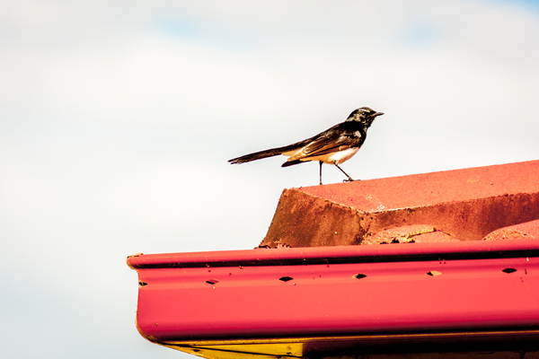 Willie Wagtail: The Willie Wagtail is the largest, and most well-known, of the Australian fantails. The plumage is black above with a white belly. The Willie Wagtail can be distinguished from other similar-sized black and white birds by its black throat and white eyebrow