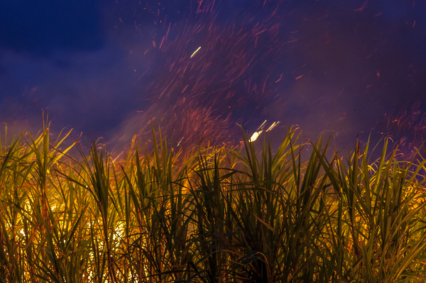 Sugar Cane Fire: Sugar cane being burnt by farmer at dusk prior to being harvested. Picture taken Nunderi NSW Australia