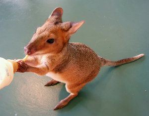 Pademelon: An orphaned pademelon drinking from a bottle.