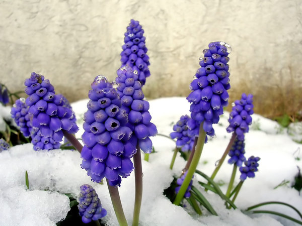 Grape Hyacinth in Snow: