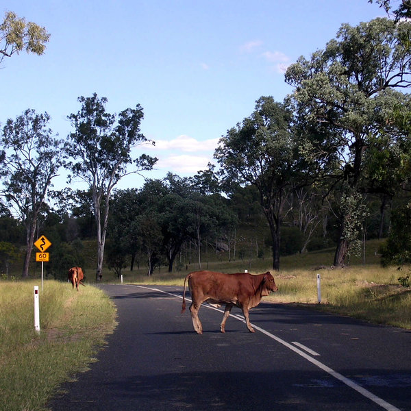 Cattle on the road: Cattle on the road in Central QLD, Australia.Re-uploaded after request to improve cropping:http://www.sxc.hu/pic/m/d ..