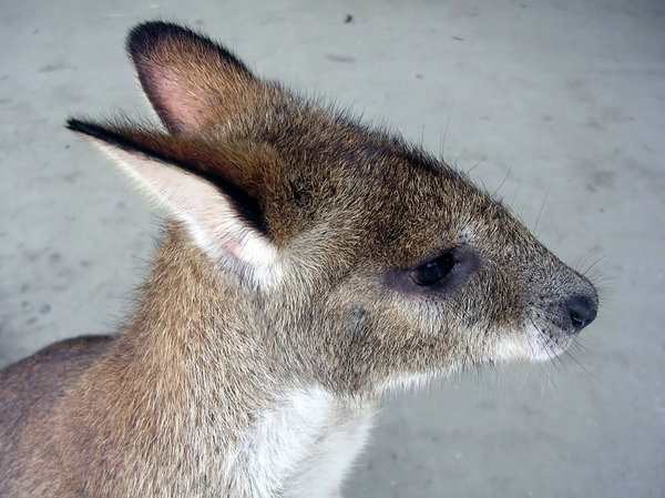 Hooley! 2: An orphaned wallaby now grown up and released but likes to visit now and then.