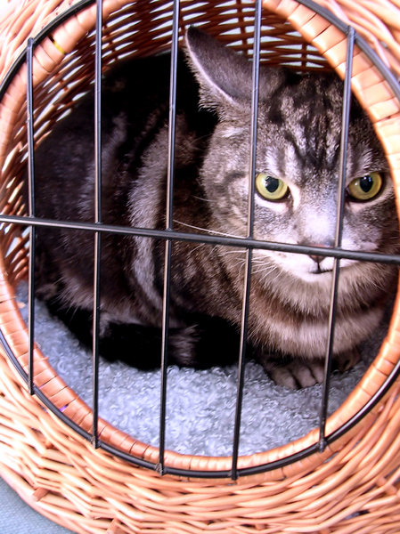 Cat in basket: George waiting for his appointment at the vet and not impressed with me taking advantage of his unfortunate situation.