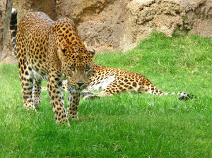 Leopards: Leopards