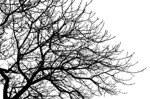 Branches 2: High contrast silhouette of tree branches.