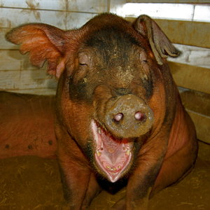 haha very funny: Laughing pig at a local fair. He was such a camera hog. Please comment!
