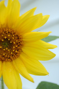 Color: Sunflowers.