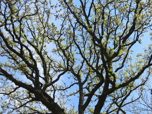 spring tree: a tree with new leaves