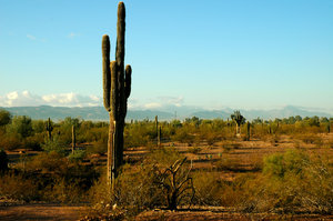 Saguaro cactus 2: Here are a variety of saguaro cactus taken north of Scottsdale, Arizona.