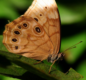 Northern Pearly-eye Butterfly: Northern Pearly-eye Butterfly