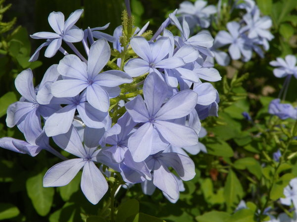 The blue flower: Beautiful flower in my garden