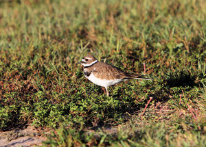 Killdeer: Small bird with a big voice.