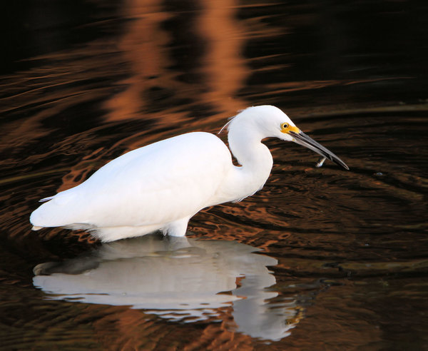 Snowy Egret: These shots were taking in just walking distance from my house. So much fun  watching this bird work.