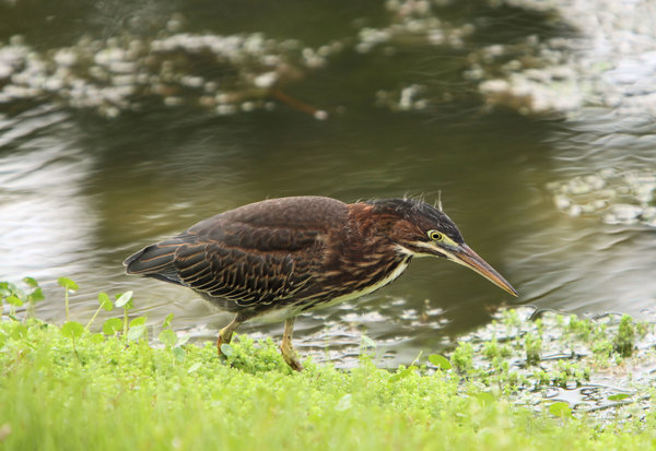 Juvenile Green Heron: Caught this heron stalking and feeding around a small pond close to my home.