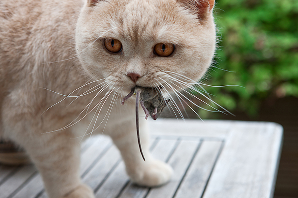 Cat and mouse: British shorthair hunts mouse in the garden.
