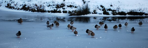 frozen river with ducks 3: a river freezes over.