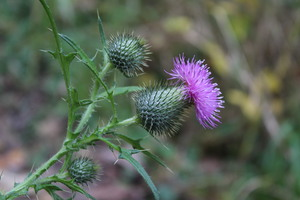 purple thistle: close up of a purple thistle