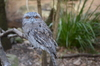 Tawny frogmouth: A Tawny frogmouth looking your way