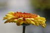 Gerbera Flower: A yellow with orange Gerbera flower.