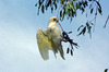 Hanging about: Little corella chewing a section of gum tree.