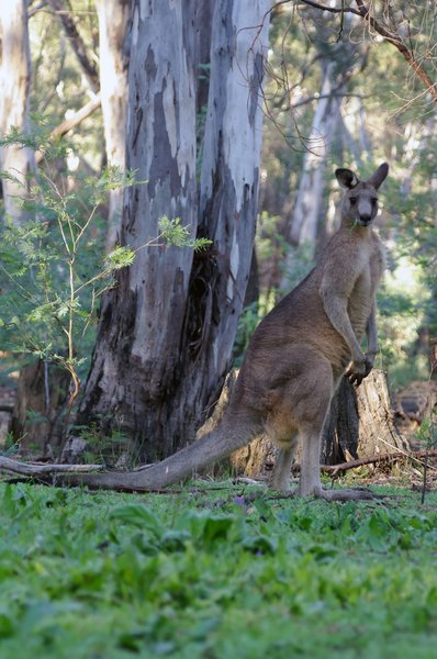 Kangaroo: Kangaroos in forests
