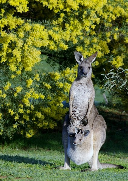 Kangaroos: Mother and baby warming in the sun