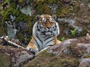 Tiger: Photo was taken in Kolmården Zoo, SwedenLooking forward to feedback! Please credit if possible or drop me a line via http://www.jule.se