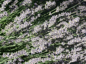 Lavender: Almost droopy Lavender bush