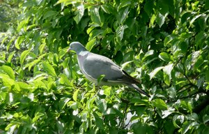 Dove: Dove in a bush