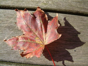 Maple leaf: Single red maple leaf
