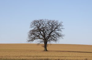 Single tree: Single tree on a field in winter