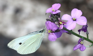Butterfly: Butterfly at a summer lilac